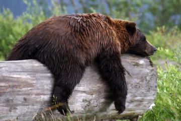 bc bear